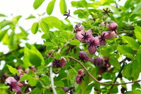 top-6-perennial-flowering-vines-vine-plants